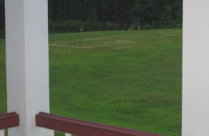 Deer in the east field as seen from the back porch.