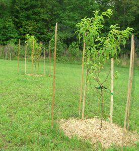 Harvester peach tree