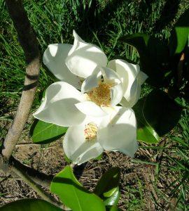 Southern Magnolia Blossom.